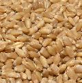 Wheat Seed Abcplhd-2967