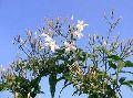 Jasmine Grandi Plant
