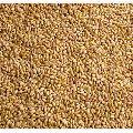 Sharbati Wheat Seeds