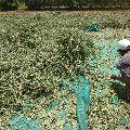Jivanti Dry Stem and Leaves