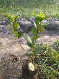 Long Island Ficus Plant