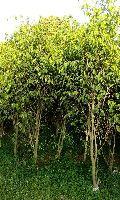 Ficus Yellow Plant