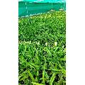 White Dragon Fruit Plant