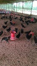 Kadaknath Chicken