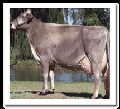 Live Brown Swiss Cow
