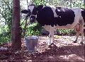 Live Holstein Friesian Cow