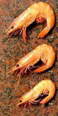 Shrimp-02