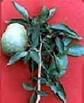 Bengal Quince and Bael Fruit