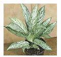 Aglaonema Silver King Plants
