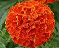 Red Marigold Flowers