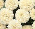 White Marigold Flowers