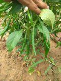UNNAT SEEDS - Vegetable Seeds