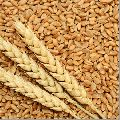 WH-711 Wheat Seeds