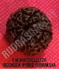 9 Mukhi Collector Indonesia Hybrid Rudraksha