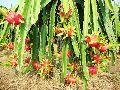 Dragon Fruit Plants