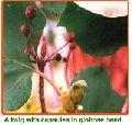 Adina Cordifolia Seeds