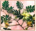 Albizia Lebbeck Plant