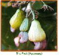 Anacardium Occidentale Seeds