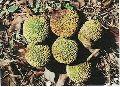 Anthocephalus Chinensis Seeds