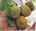 Artocarpus Heterophyllus Seeds