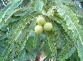 Amla N-10 Plant