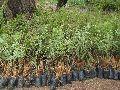 AMLA PLANTS  NA-7 PLANTS