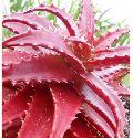 Fresh Red Aloe Vera