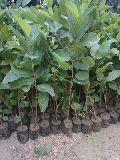 Alahabad guava plants