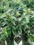 L49 guava plants