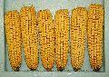 Whole Dent Maize