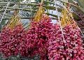 Fresh Dates(Red Desi)