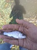 Katla Fish Seed (4-5 inch size)