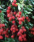 Litchi Plants