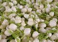 Fresh Mullai Flowers