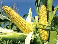 Indian Corn Exporter - Alram Exports