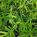 Dendrocalamus Stocksii