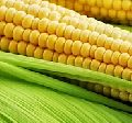 Indian Yellow Maize