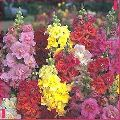 Antirrhinum Madam Butterfly Mix Flower Seeds