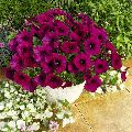 Pitunias Flower