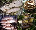 Fresh Oyster Mushroom 02