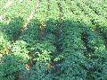Cadaloo Seed Potatoes