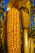 Maize, Yellow Corn