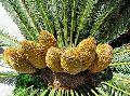 Cycad seeds