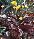Calathea Crocata Plants
