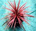 Red Star Cordyline Australis Plants