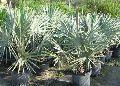 Bismarckia Nobilis Palm Plant