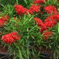 Ixora Mini Shrub Red Plant