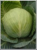 Super Selection Cabbage Seed