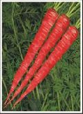 Hybrid Carrot Seed