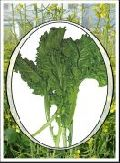 Hybrid Saron Saag Gobi Seed